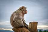 Japanese macaque on a trunk, Iwatayama monkey park, Kyoto, Japan