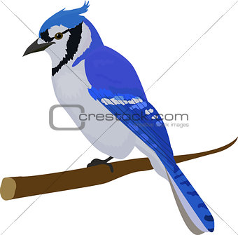 Blue jay bird. Isolated on white background.