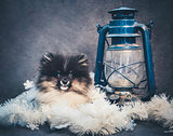 Pomeranian Spitz dog puppy in garlands on Christmas or New Year