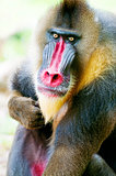 Mandrill Alpha Male Monkey