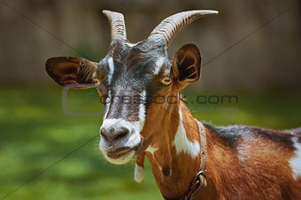 Portrait of Nanny Goat
