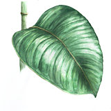 Watercolor illustration of rubber plant