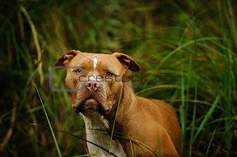 American Pit Bull Terrier dog