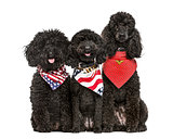 Poodles with flag scarfs, isolated on white