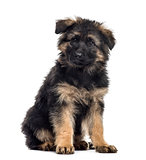 Belgian shepherd puppy sitting, isolated on white