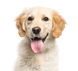 Close-up of a golden Retriever panting, isolated on white