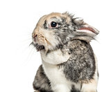 Close-up of a rabbit, isolated on white