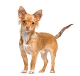 chihuahua standing, isolated on white