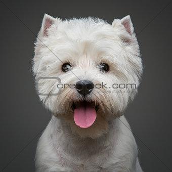 beautiful west highland white terrier dog