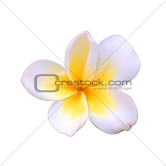 A beautiful white flower called Pachipodium Lamer, Madagascar palm, Pachypodium lamerei Isolated on White. Vector Illustration