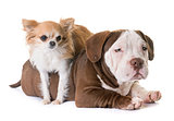 puppy american bully and chihuahua