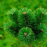 Fluffy Pine Shoots