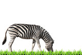 Zebra grazing on green grass