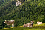 Cows in a alpine meadow