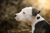 American Pit Bull Terrier puppy dog