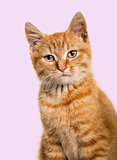 Close-up portrait on a ginger cat, purple background