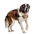 St. Bernard dog walking with a barrel (14 months old), isolated