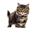 Stripped kitten mixed-breed cat, isolated on white