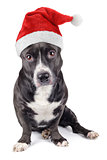 Cute black dog with santa hat