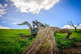 Perspective view of fallen oak