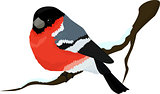 Bullfinch bird winter illustration