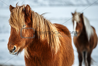 Beautiful Icelandic horses