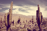 giant cactus in the desert, Argentina