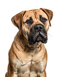 Close-up of a bullmastiff, isolated on white