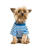 Yorkshire wearing a stripped blue t-shirt, isolated on white