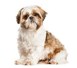 Shih Tzu, dog sitting and looking at the camera, isolated on whi