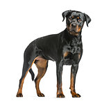 rottweiler dog, guard dog standing and looking at the camera, is