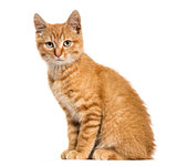 Ginger cat, sitting looking at the camera, isolated on white