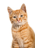 Close-up portrait on a ginger cat, white background