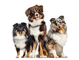 Shetland Sheepdog and Australian Shepherd, dogs in a row, white