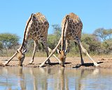 Giraffe Background - African Wildlife - Splits for Sips