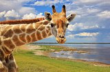 Giraffe Background - African Wildlife - Serenity and Grace