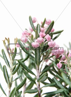 Bog-rosemary
