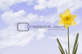 Daffodill with cloudy sky