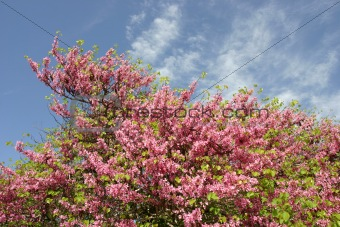 Almond tree with blooming pink flowers