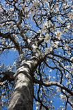 Flowering Tulip tree
