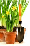 Pots of daffodils with garden shovel