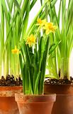 Three pots of daffodils on white