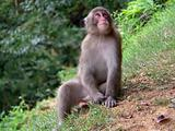Japanese Macaque in forest