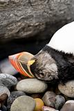 Dead Puffin on pebbled beach