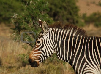 Cape Mountain Zebra (Equus zebra)
