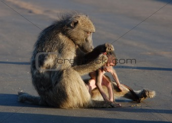 Baboon Mother ans Son