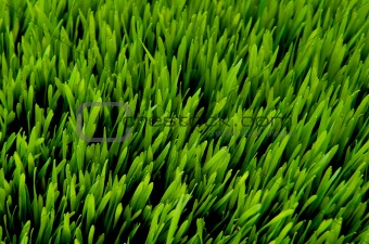 Green grass detail from above