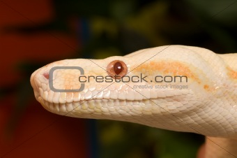Albina Red Snake Colombia