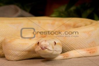 Albino Red Snake