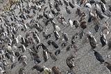 Many penguins near Ushuaia.
